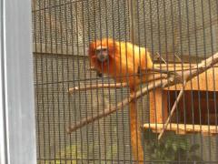 ゴールデンタマリンライオン-浜松市動物園(東海静岡県浜松)