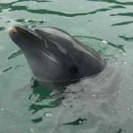 いるかにタッチ! イルカにエサあげ体験! イルカと触れ合える下田海中水族館(東海静岡県南伊豆)